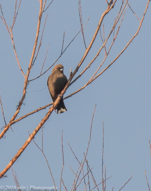 Dusky Woodswallow, Willowind Farm, Moorooduc, Victoria