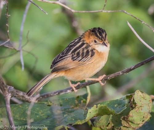 Golden-headed Cisticola,  Western Treatment Plant, Victoria