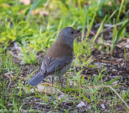 Grey Shrikethrush, Willowind Farm, Moorooduc, Victoria