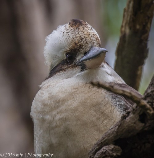Kookaburra, Moorooduc Quarry, Victoria