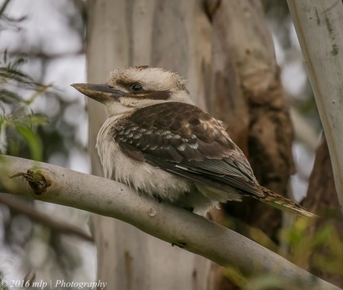 Kookaburra, Willowind Farm, Moorooduc, Victora