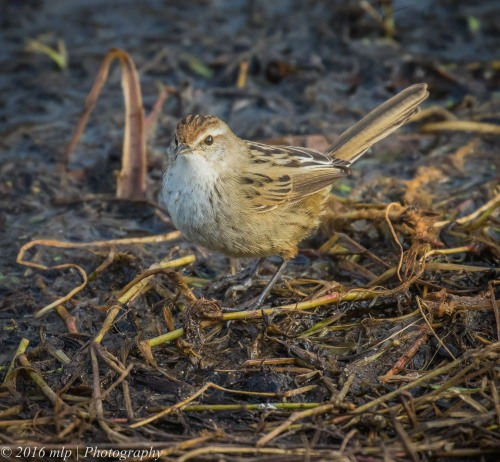 Little Grassbird,  Western Treatment Plant, Victoria