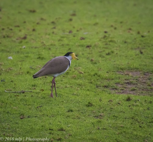 Masked Lapwing, Willowind Farm, Moorooduc
