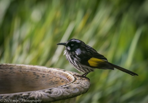New Holland Honeyeater, Willowind Farm, Moorooduc, Victoria