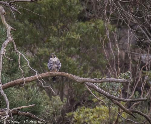 Peregrine Falcon, Moorooduc Quarry, Victoria