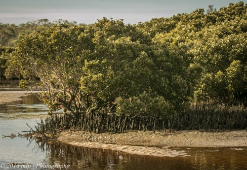 Screw Creek White mangroves, Inverloch Beach, Victoria,