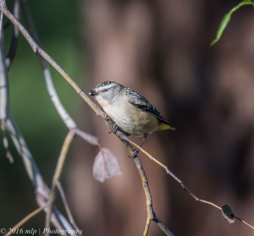 Spotted Pardalote, Willowind Farm, Moorooduc, Victoria