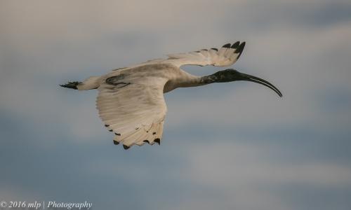 Australian White Ibis, Inverloch Beach, Victoria