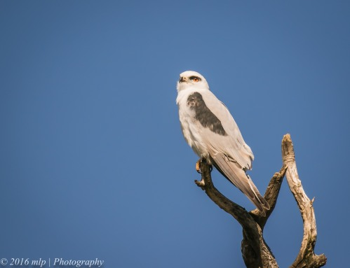 Black-shouldered Kite, Western Treatment Plant, Victoria