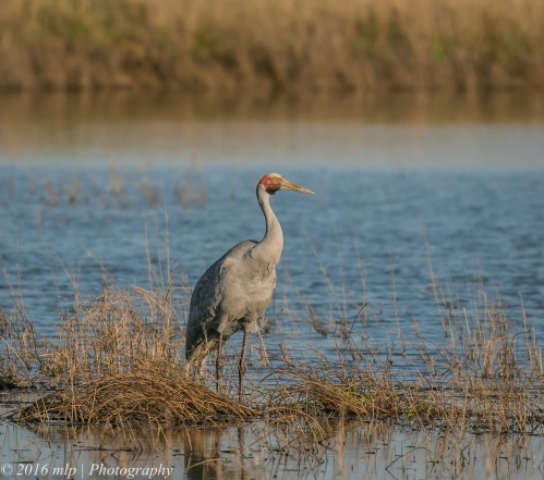 Brolga, T-section, Western treatmwent Plant, Werribee