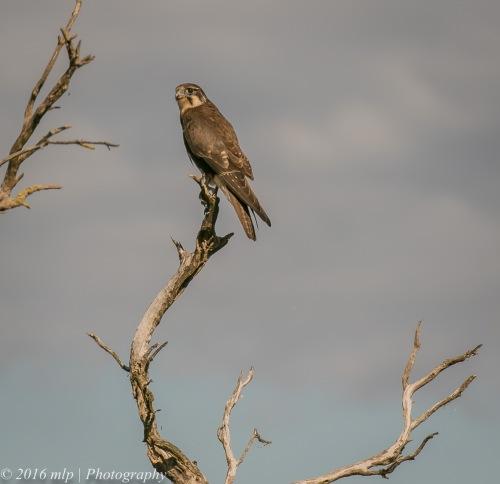 Brown Falcon, Western Treatment Plant, Victoria