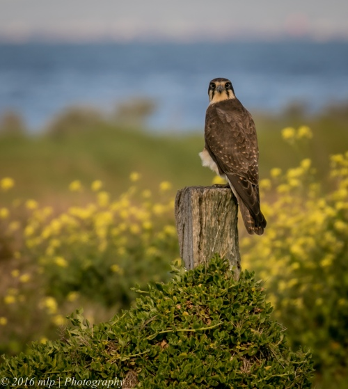 Brown Falcon, Western Treatment Plant, Werribee, Victoria