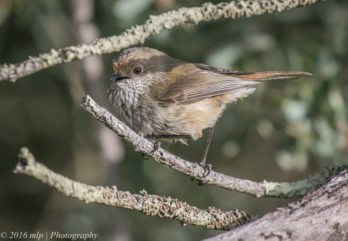 Brown Thornbill, Inverloch Beach, Victoria