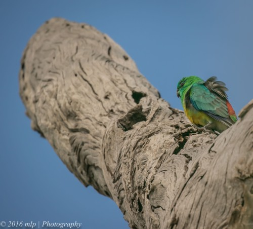 Male Red Rumped Parrot, Braeside Park, Victoria