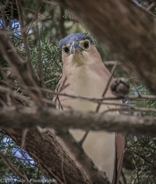 Nankeen Night Heron, Elster Creek, Elwood,Victoria