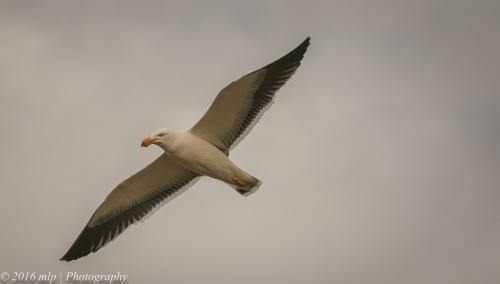 Pacific Gull, Inverloch Beach, Victoria