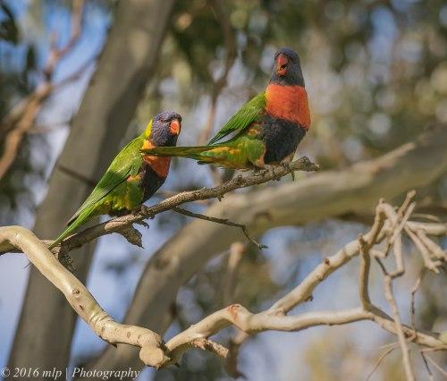 Rainbow Lorikeets, Braeside Park, Victoria