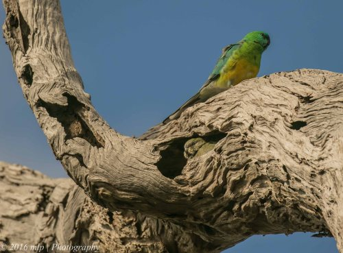 Red-rumped Parrots, Braeside Park, Victoria