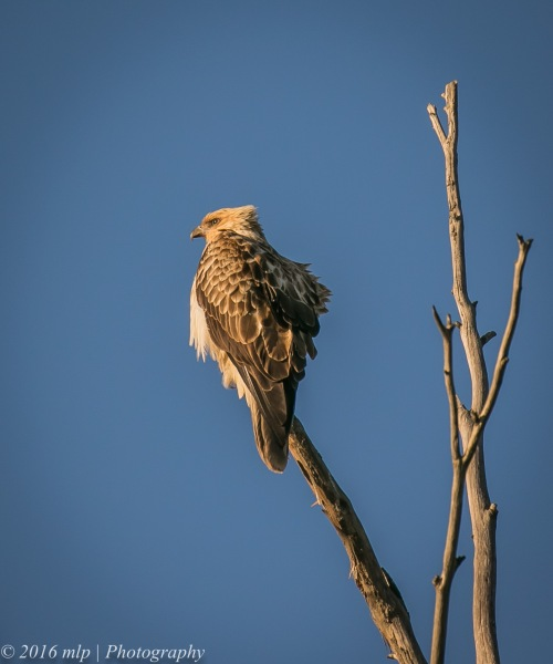 Whistling Kite, Western Treatment Plant, Victoria