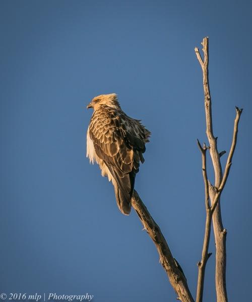 Whistling Kite, Western Treatment Plant, Victoria