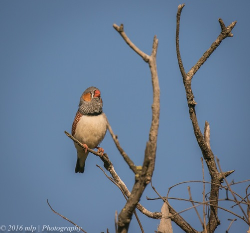 Zebra Finch, Western Treatment Plant, Werribee, Victoria