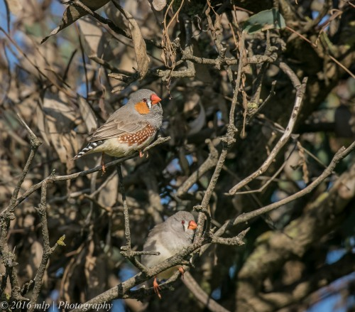 Zebra Finches, Western Treatment Plant, Werribee, Victoria