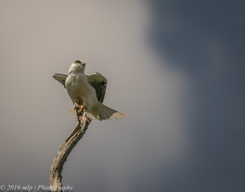 black-shouldered-kite-braeside-park-braeside-victoria