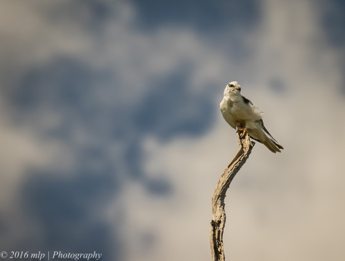 black-shouldered-kite-braeside-park-braeside-victoria