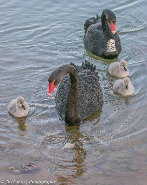 Elsternwick Lake Swan family, Elsternwick, Victoria