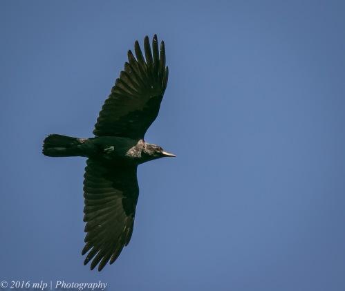 Little Raven, Braeside Park, Victoria