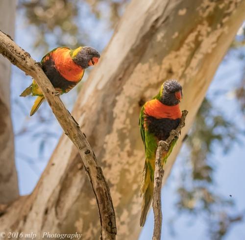 Rainbow Lorikeet Braeside Park, Braeside, Victoria