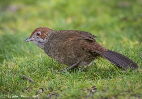 Rufous Bristlebird, Point Addis, Great Ocean Road, Anglesea, Victoria