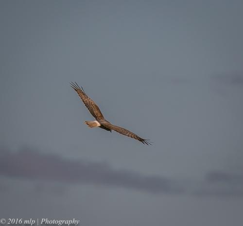 Swamp Harrier, Braeside Park, Victoria