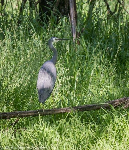 white-faced-heron-braeside-park-braeside-victoria