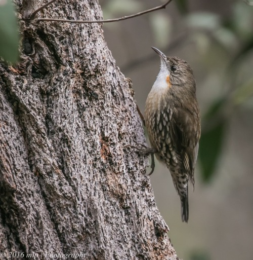 white-throated-treecreeper-point-addis-great-ocean-road-anglesea-victoria