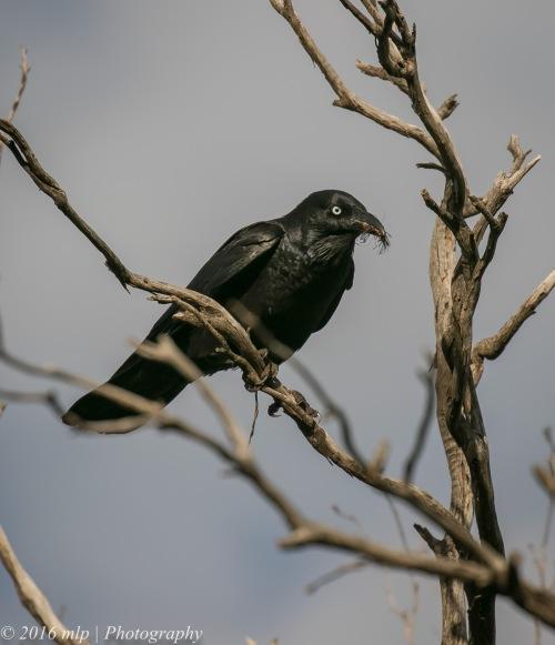Australian Raven, Goschen Bushland Reserve, Victoria, 2 Oct 2016