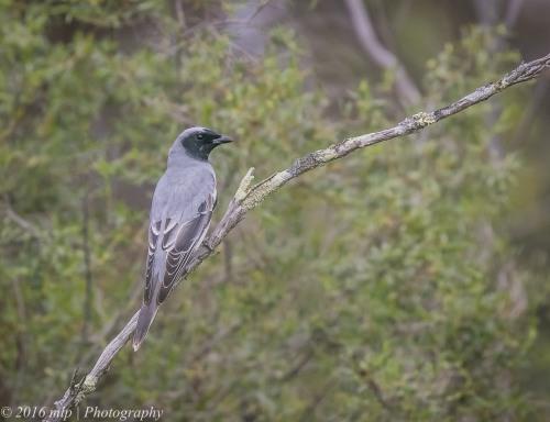 black-faced-cuckoo-shrike-goschen-bushland-reserve-goschen-victoria