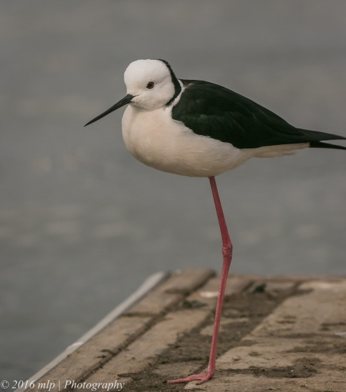 Black Winged Stilt, Albert Park Lake, Victoria, 21 Aug 2016