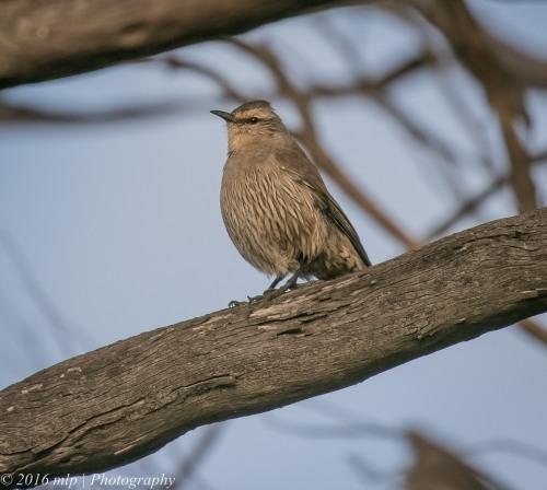 brown-treecreeper-goschen-bushland-reserve-goschen-victoria