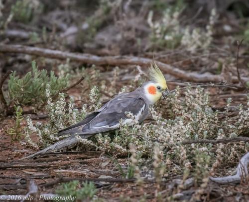 Cockatiel, Goschen Bushland Reserve, Goschen, Victoria