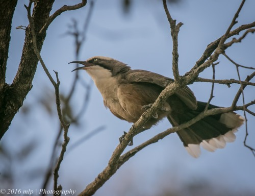 Grey-crowned Babbler, Middle lake Ibis Rookery, Kerang, Victoria