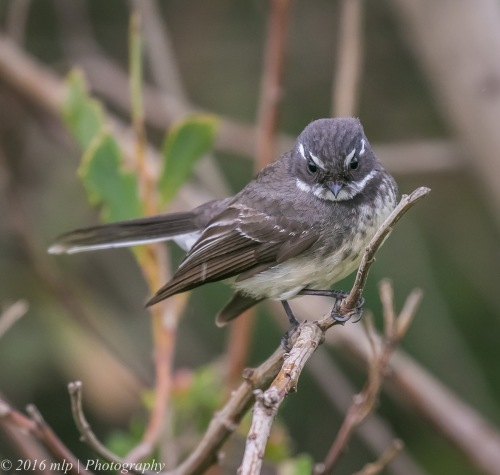 Grey Fantail, Point Ormond Coastal Reserve, Elwood, Victoria, 21 Aug 2016
