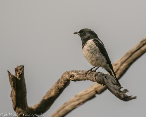 male-hooded-robin-goschen-bushland-reserve-goschen-victoria