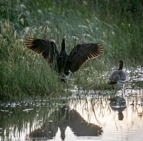 Plumed Whistling Duck, Mitiamo-Kow Swamp Road Dams, Terrick Terrick, Victoria, 1st Oct 2016