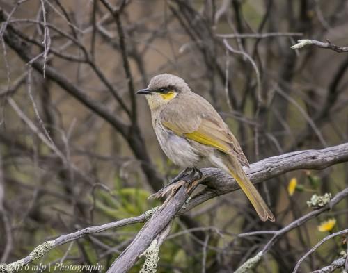 singing-honeyeater-goschen-bushland-reserve-goschen-victoria
