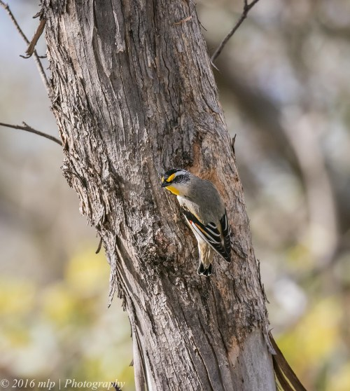 Striated Pardalote at nest hole, Goschen Bushland Reserve, Goschen, Victoria, 2 Oct 2016