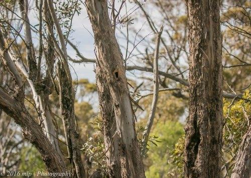 Striated Pardalote nest hole, Goschen Bushland Reserve, Goschen, Victoria, 2 Oct 2016