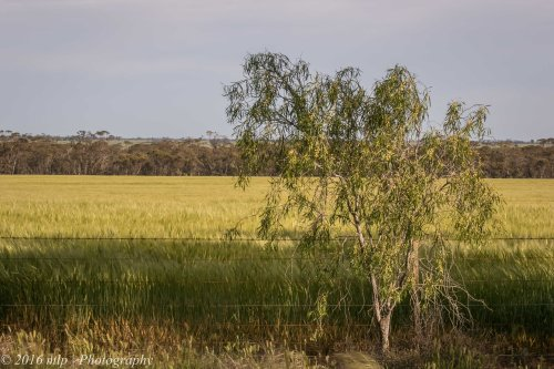 Wheat fields, Goschen, Victoria, 2 Oct 2016