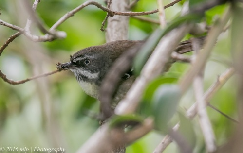 White-browed Scrubwren, Point Ormond Coastal Reserve, Elwood, Victoria, 21 Aug 2016
