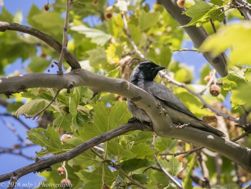 Black-faced Cuckoo-shrike, Elster Creek, Elwood, Victoria, 1 Nov 2016
